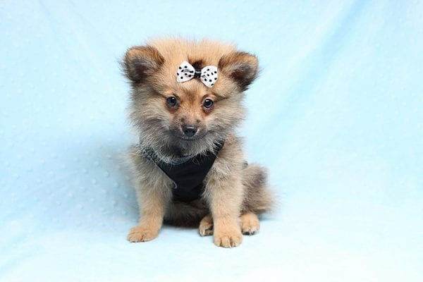 Love Ranger - Toy Pomeranian Found His New Loving Home with Rhonda From San Clemente CA 92673-25170