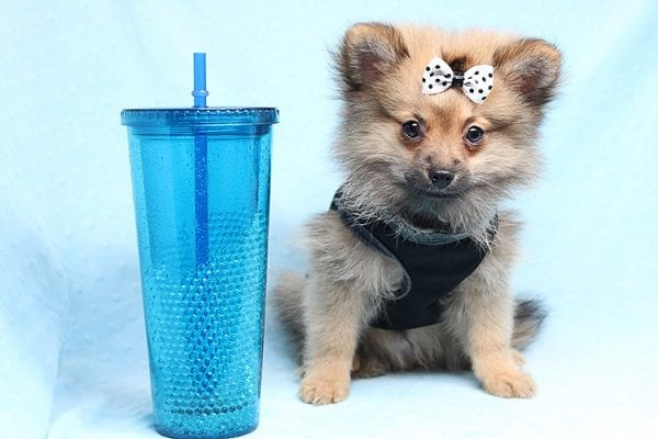 Love Ranger - Toy Pomeranian Found His New Loving Home with Rhonda From San Clemente CA 92673-25171