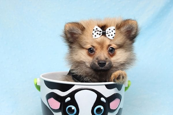 Love Ranger - Toy Pomeranian Found His New Loving Home with Rhonda From San Clemente CA 92673-25173