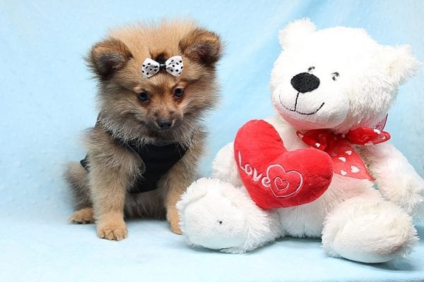 Love Ranger - Toy Pomeranian Found His New Loving Home with Rhonda From San Clemente CA 92673-25175