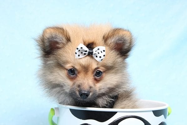 Love Ranger - Toy Pomeranian Found His New Loving Home with Rhonda From San Clemente CA 92673-25174