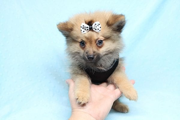 Love Ranger - Toy Pomeranian Found His New Loving Home with Rhonda From San Clemente CA 92673-25167