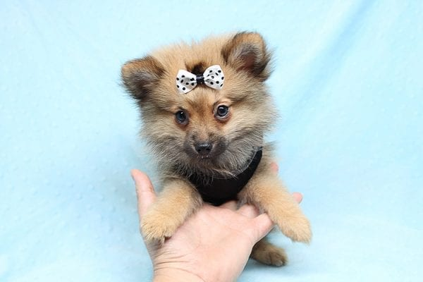 Love Ranger - Toy Pomeranian Found His New Loving Home with Rhonda From San Clemente CA 92673-0