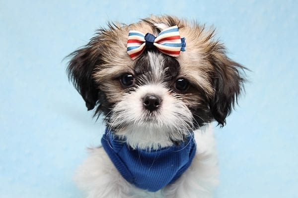 Monty Python - Toy Shih Tzu Puppy Found His Good Loving Home With Hanouf A. In Los Angeles CA, 90025-25074