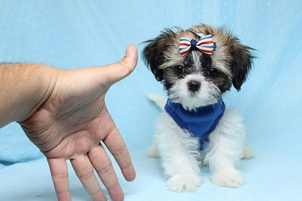 Monty Python - Toy Shih Tzu Puppy Found His Good Loving Home With Hanouf A. In Los Angeles CA, 90025-25071
