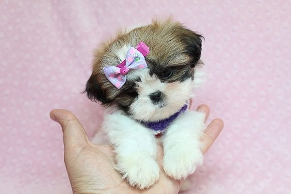OMG - Teacup Shih Tzu Puppy has found a good loving home with April from Henderson, NV. -0