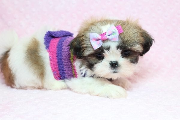 OMG - Teacup Shih Tzu Puppy has found a good loving home with April from Henderson, NV. -25226