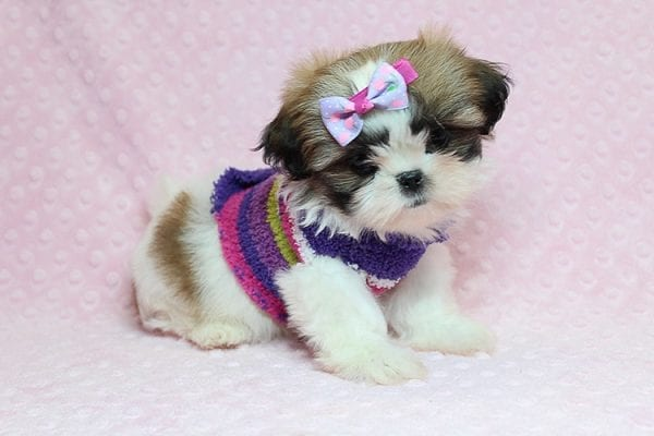 OMG - Teacup Shih Tzu Puppy has found a good loving home with April from Henderson, NV. -25229