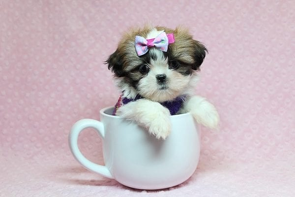 OMG - Teacup Shih Tzu Puppy has found a good loving home with April from Henderson, NV. -25231