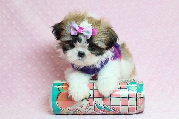 OMG - Teacup Shih Tzu Puppy has found a good loving home with April from Henderson, NV. -25230