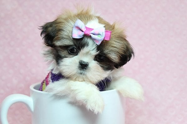 OMG - Teacup Shih Tzu Puppy has found a good loving home with April from Henderson, NV. -25232