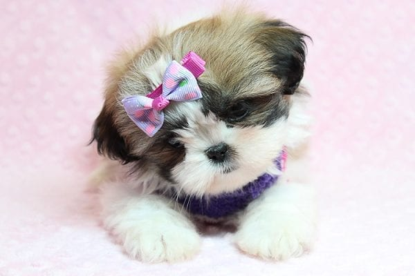 OMG - Teacup Shih Tzu Puppy has found a good loving home with April from Henderson, NV. -25225