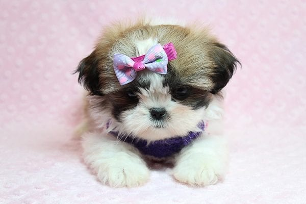 OMG - Teacup Shih Tzu Puppy has found a good loving home with April from Henderson, NV. -25223