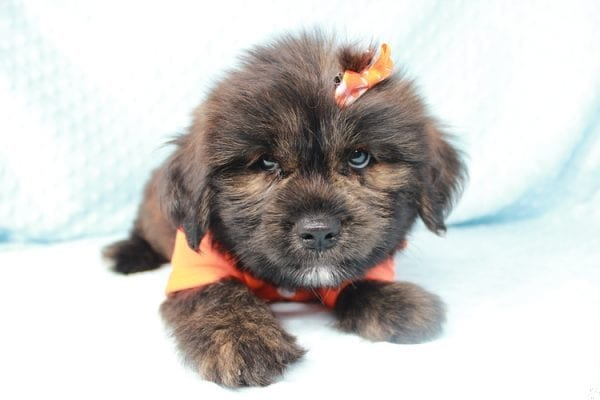 Roger Rabbit - Toy Malshi Puppy has found a good loving home with Jenei from Las Vegas, NV 89103.-24994