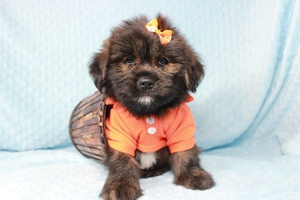Roger Rabbit - Toy Malshi Puppy has found a good loving home with Jenei from Las Vegas, NV 89103.-0