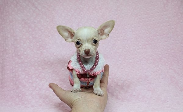 Sephora - Tiny Teacup Chihuhua Found Her New Loving Home with Mouro from Baldwin Park CA 91706-26329