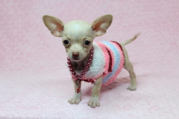 Sephora - Tiny Teacup Chihuhua Found Her New Loving Home with Mouro from Baldwin Park CA 91706-26333