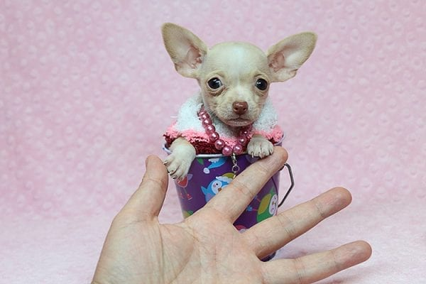Sephora - Tiny Teacup Chihuhua Found Her New Loving Home with Mouro from Baldwin Park CA 91706-26336