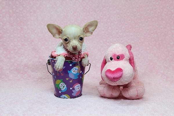 Sephora - Tiny Teacup Chihuhua Found Her New Loving Home with Mouro from Baldwin Park CA 91706-26338