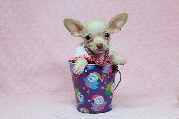 Sephora - Tiny Teacup Chihuhua Found Her New Loving Home with Mouro from Baldwin Park CA 91706-26339
