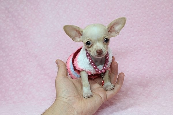 Sephora - Tiny Teacup Chihuhua Found Her New Loving Home with Mouro from Baldwin Park CA 91706-0