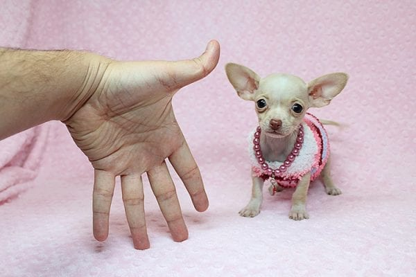 Sephora - Tiny Teacup Chihuhua Found Her New Loving Home with Mouro from Baldwin Park CA 91706-26331