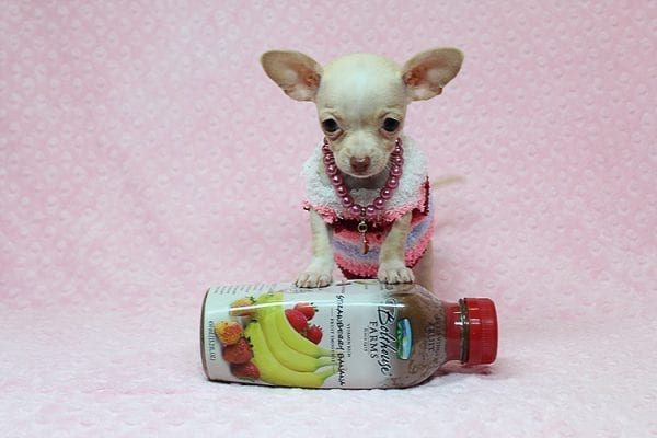 Sephora - Tiny Teacup Chihuhua Found Her New Loving Home with Mouro from Baldwin Park CA 91706-26332