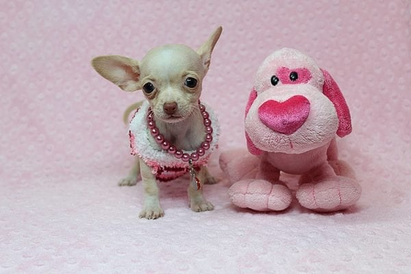 Sephora - Tiny Teacup Chihuhua Found Her New Loving Home with Mouro from Baldwin Park CA 91706-26334