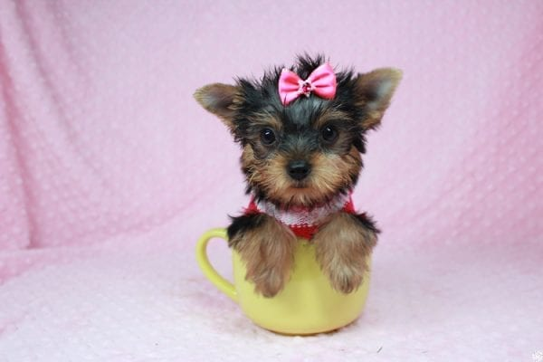 Star Darling - Tiny Teacup Yorkie Puppy has found a good loving home with Dianna from Gilbert, AZ 85296-25018