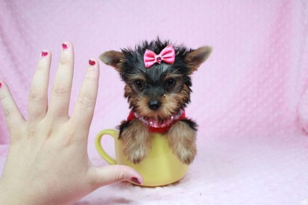 Star Darling - Tiny Teacup Yorkie Puppy has found a good loving home with Dianna from Gilbert, AZ 85296-25019