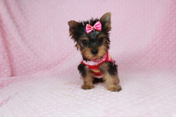 Star Darling - Tiny Teacup Yorkie Puppy has found a good loving home with Dianna from Gilbert, AZ 85296-25012
