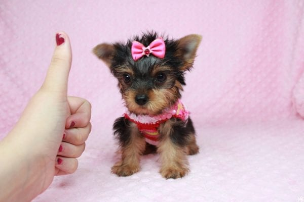 Star Darling - Tiny Teacup Yorkie Puppy has found a good loving home with Dianna from Gilbert, AZ 85296-25014