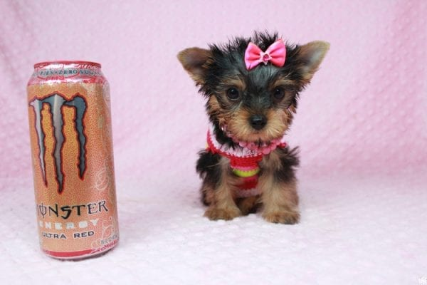 Star Darling - Tiny Teacup Yorkie Puppy has found a good loving home with Dianna from Gilbert, AZ 85296-25013