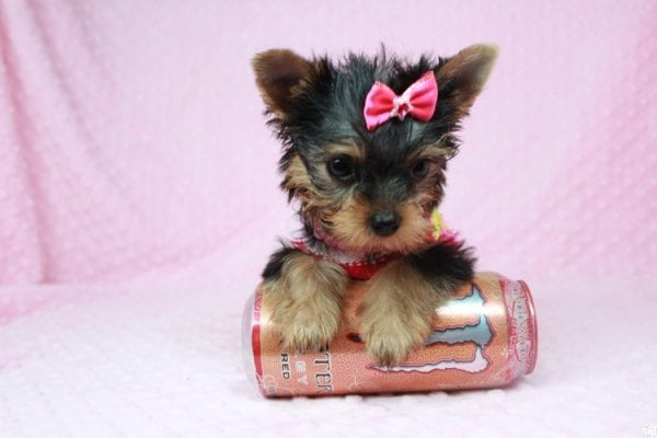 Star Darling - Tiny Teacup Yorkie Puppy has found a good loving home with Dianna from Gilbert, AZ 85296-25015