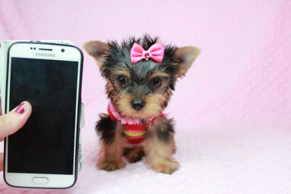 Star Darling - Tiny Teacup Yorkie Puppy has found a good loving home with Dianna from Gilbert, AZ 85296-25016