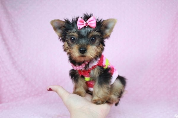 Star Darling - Tiny Teacup Yorkie Puppy has found a good loving home with Dianna from Gilbert, AZ 85296-0