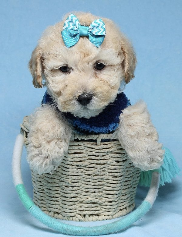 Suzuki - Toy Poodle Puppy has found a good loving home with Vartuhi from Van Nuys, CA 91411-27479