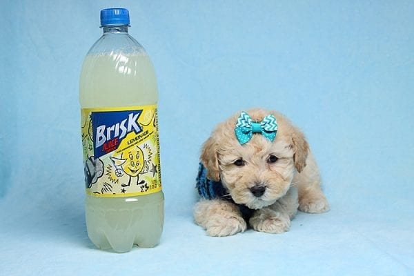 Suzuki - Toy Poodle Puppy has found a good loving home with Vartuhi from Van Nuys, CA 91411-27484