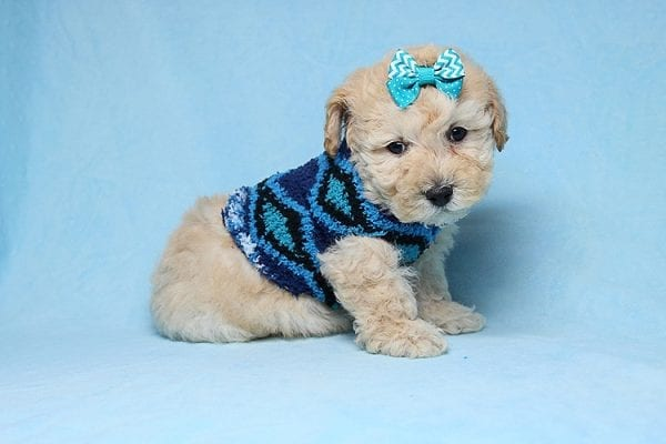 Suzuki - Toy Poodle Puppy has found a good loving home with Vartuhi from Van Nuys, CA 91411-27483