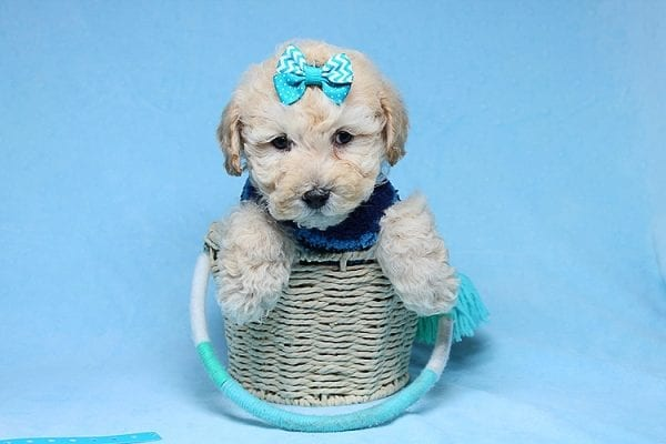 Suzuki - Toy Poodle Puppy has found a good loving home with Vartuhi from Van Nuys, CA 91411-27487