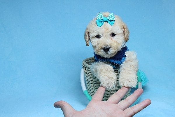 Suzuki - Toy Poodle Puppy has found a good loving home with Vartuhi from Van Nuys, CA 91411-27480