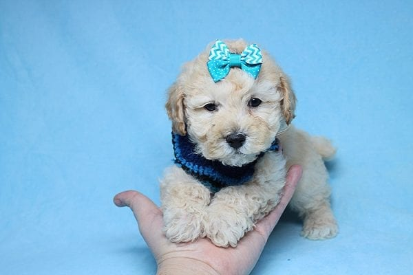 Suzuki - Toy Poodle Puppy has found a good loving home with Vartuhi from Van Nuys, CA 91411-0