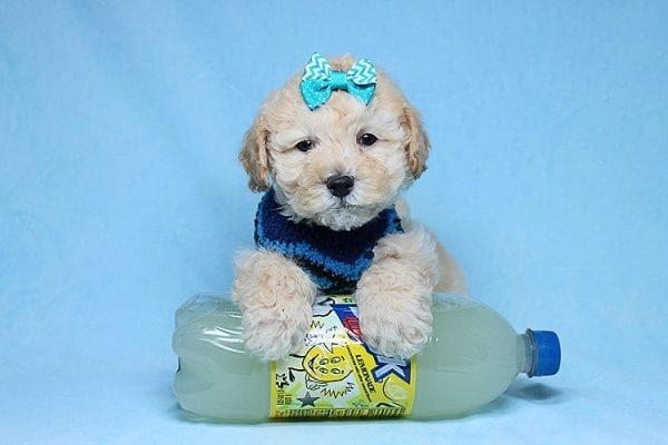 Suzuki - Toy Poodle Puppy has found a good loving home with Vartuhi from Van Nuys, CA 91411-27485