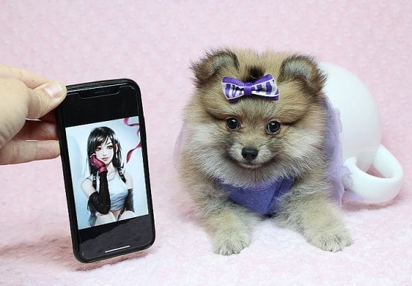 Tifa Lockheart - Teacup Pomeranian Puppy Found Her Good Loving Home With Nelson A. In Lomita CA, 90717-25273