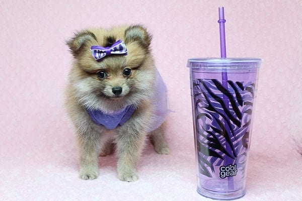 Tifa Lockheart - Teacup Pomeranian Puppy Found Her Good Loving Home With Nelson A. In Lomita CA, 90717-25277
