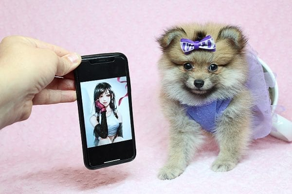 Tifa Lockheart - Teacup Pomeranian Puppy Found Her Good Loving Home With Nelson A. In Lomita CA, 90717-0
