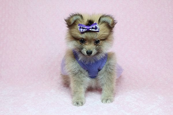 Tifa Lockheart - Teacup Pomeranian Puppy Found Her Good Loving Home With Nelson A. In Lomita CA, 90717-25271