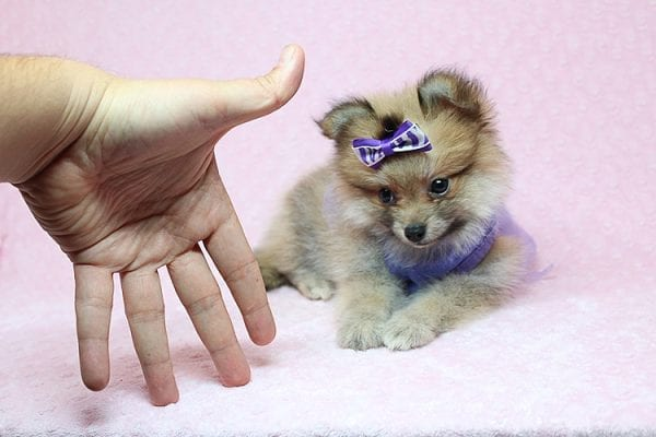 Tifa Lockheart - Teacup Pomeranian Puppy Found Her Good Loving Home With Nelson A. In Lomita CA, 90717-25274