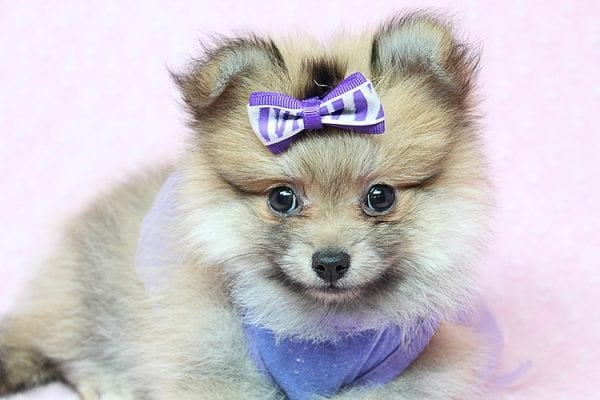 Tifa Lockheart - Teacup Pomeranian Puppy Found Her Good Loving Home With Nelson A. In Lomita CA, 90717-25276
