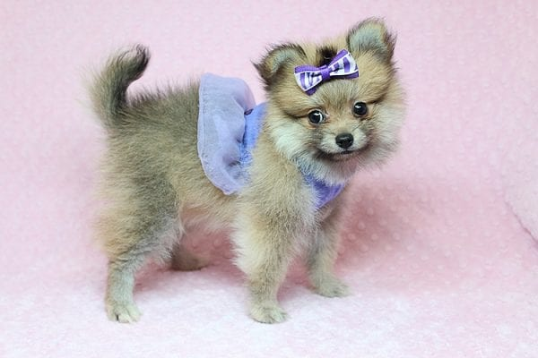 Tifa Lockheart - Teacup Pomeranian Puppy Found Her Good Loving Home With Nelson A. In Lomita CA, 90717-25275